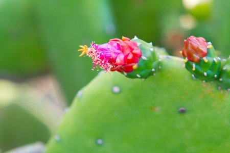 Beautiful pink and red blossoms of flowers on this cactus in the tropical location of Hawaii.