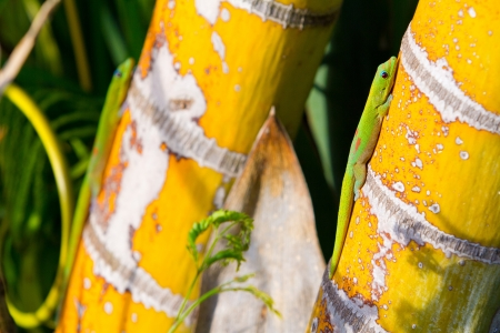 sun bathing: Two tropical lizard geckos in Hawaii are sun bathing and warming up on some bamboo plants.