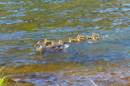 A mother duck swims with her chicks in the Deschutes River while playing follow the leader. Stock Photo - 20043098