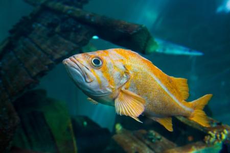 A fish swims near the glass at an aquarium tank at a zoo. Stock Photo - 20462396