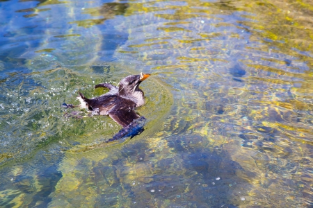 aquarium tank: Birds swim and clean themselves at a zoo aquarium tank for waterfowl birds.