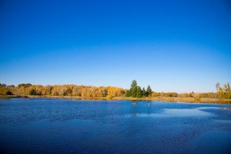 cielos azules: Algunos gansos se congregan en una reserva natural estanque con el cielo azul hermoso gastos generales en esta foto del paisaje natural.