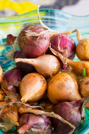 Scalogni organici homegrown raccolte a mano e cipolle insieme in una ciotola di essiccazione pronto per essere utilizzato per la cottura. Archivio Fotografico - 24134038