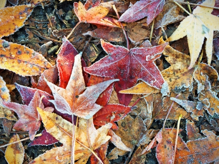 Fall Autumn Leaves on Ground in Winter with Frost photo