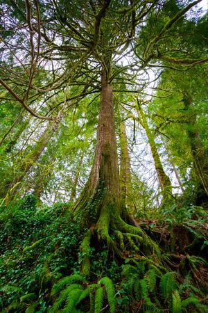 背の高いモミの木と大きな根、シダおよびコケ下部オレゴン州シウスロー国立森林で成長しています。