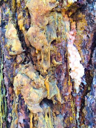 ponderosa pine: Bark is oozing sap on this high desert Ponderosa Pine in Bend Oregon.