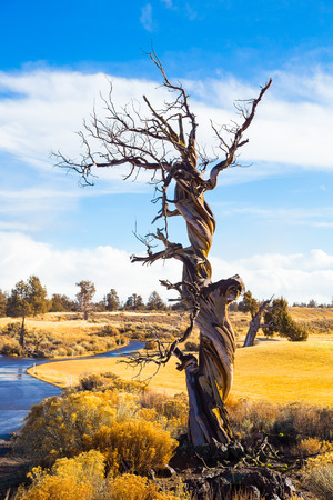 juniper tree: Large twisted juniper tree in Central Oregon during the winter just before a big storm.