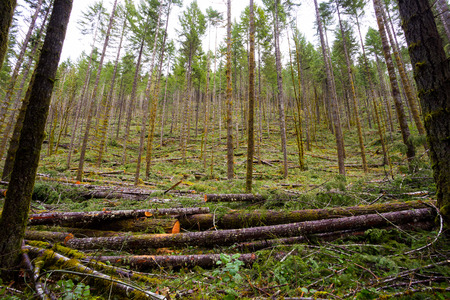 thinning: Tree thinning in a national forest shows detail of the logging industry in Oregon.