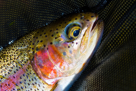 Redside rainbow trout native to the Deschutes River in Oregon. photo