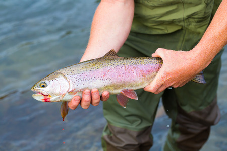 Fly fisherman holding a trophy redside rainbow trout native to the Deschutes River in Oregon. photo