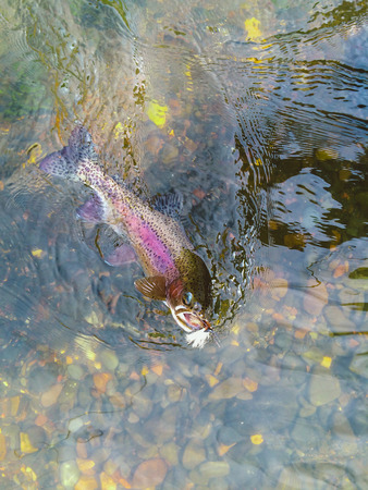 hooked: Dry salmonfly hooked this native wild redside rainbow trout in Central Oregon on the Deschutes River near Maupin by someone fly fishing. Stock Photo