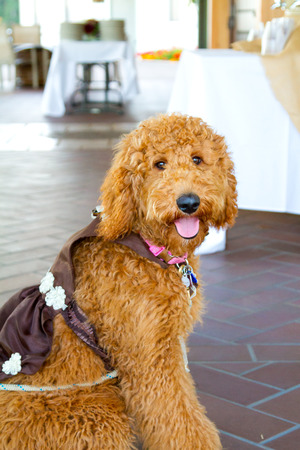 bearer: Wedding ceremony has a labradoodle ring bearer dog.
