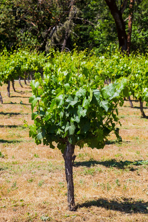 sauvignon: Cabernet Sauvignon grapes are grown at this winery and vineyard in Southern Oregon.