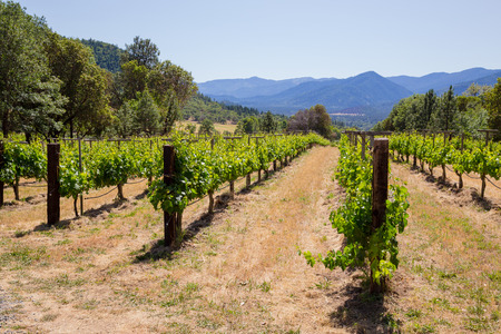 chardonnay: Chardonnay grapes are grown at this winery and vineyard in Southern Oregon. Stock Photo