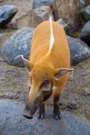 wild boar: Wild boar with an orange color on sand and rocks.