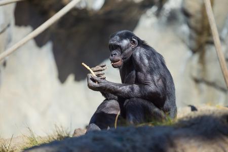 chimpances: Negro chimpanc� comer en medio de algunos chimpanc�s othe en California.