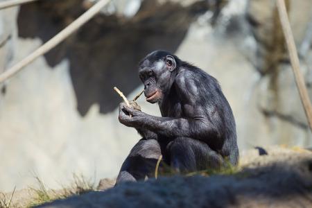 chimpances: Negro chimpancé comer en medio de algunos chimpancés othe en California.