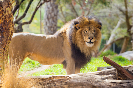 looking towards camera: Male lion looking towards the camera at a large safari style park in California. Stock Photo