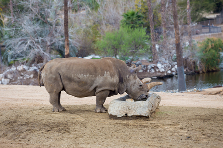 endangered species: Endangered species Black Rhino or Rhinoceros drinking water at a park. Stock Photo