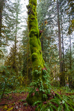 plantlife: Ferns cover this tall tree in a forest in Oregon.