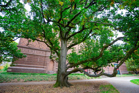 EUGENE, OR - OCTOBER 25, 2016: One of the oldest trees on the University of Oregon campus in front of the Jordan Schnitzer Museum of Art in Eugene.