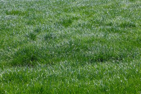 Green grass in a hay field on a farm in Oregon.