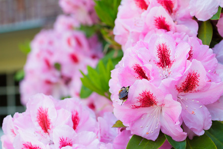 Honey bee on a rhododendron flower getting pollen from the bush and pink florals in Eugene Oregon. Stock Photo