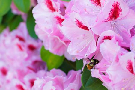 Honingbij op een rododendronbloem die stuifmeel van de struik en roze bloemen in Eugene Oregon krijgen.