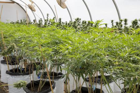 Legal Marijuana Grow Facility in Oregon