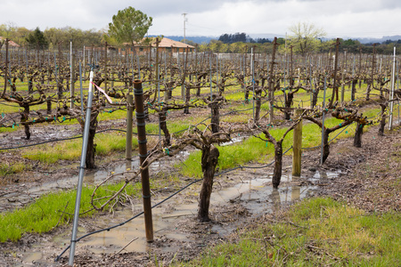 Wet Vineyard After Spring Rain Storms Sonoma California Stok Fotoğraf - 124070211