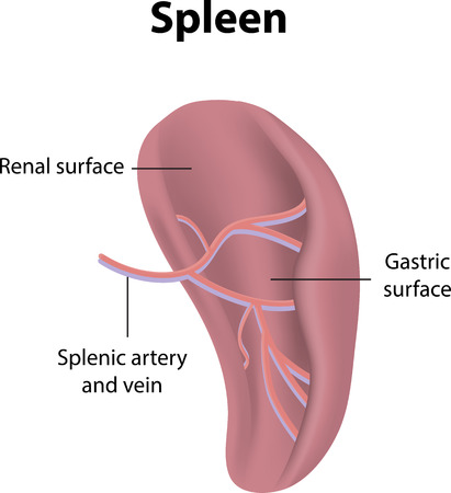 spleen: Spleen
