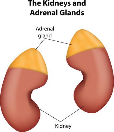 adrenaline: Nieren en bijnieren Stock Illustratie