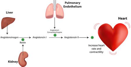 Renin Angiotensin Aldosterone System Heart Vectores