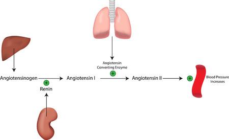 Renine angiotensine aldosteron systeem Bloeddruk