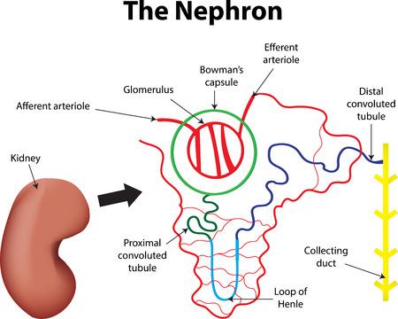 nephron: The Nephron