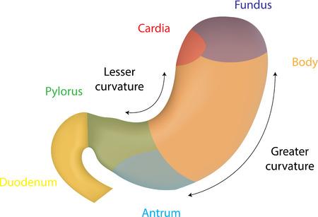 small intestine: Anatom�a de est�mago Vectores