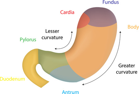 fundus of stomach: Stomach Anatomy Illustration
