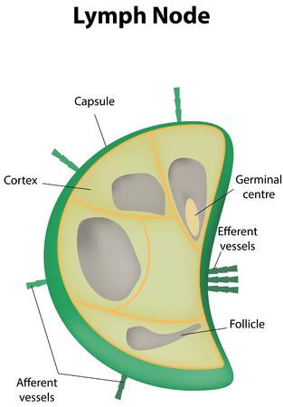 Labeled Lymph Node Vector