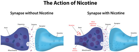 synapse: Nicotine Action Illustration