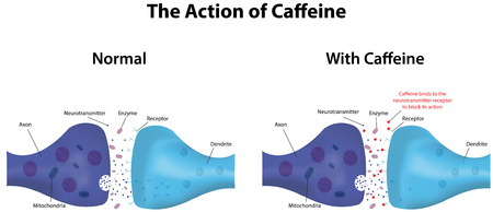 synaptic: Caffeine Action Illustration