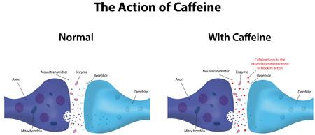 Caffeine Action Illustration
