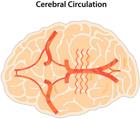 Cerebral Circulation Illustration