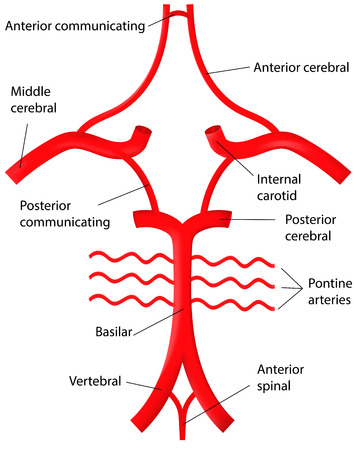 Circle of WIllis Labeled Diagram