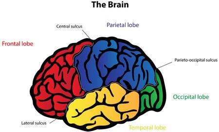 occipital: Brain Anatomy Labeled Diagram
