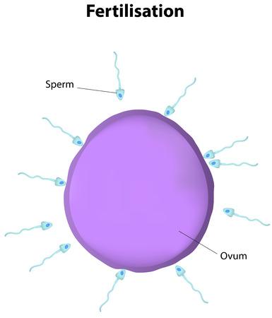 sex cell: Fertilisation Illustration