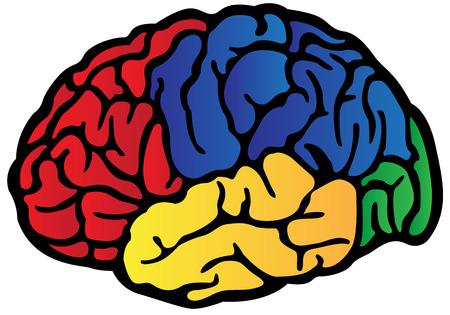Diagrama De La Anatomía Del Cerebro Etiquetada Ilustraciones ...