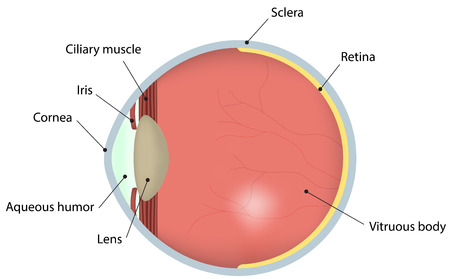 Eye Labeled Diagram Royalty Free Cliparts Vectors And Stock