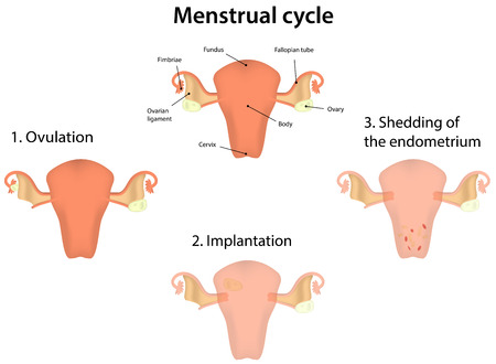 endometrium: Menstrual Cycle Illustration