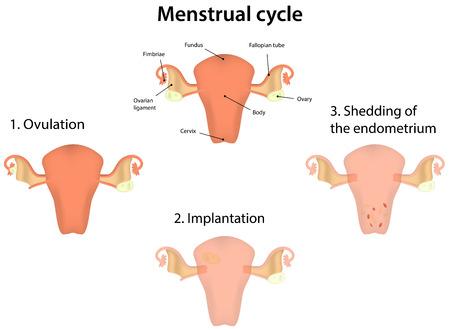 womb: Menstrual Cycle Illustration