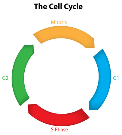 The Cell Cycle Diagram Vector